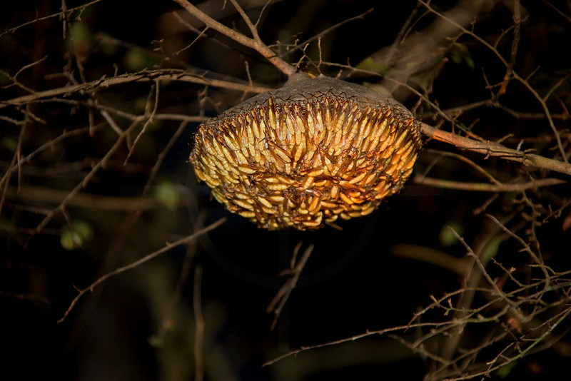 social wasps building a nest at night, Pantanal, Brazil