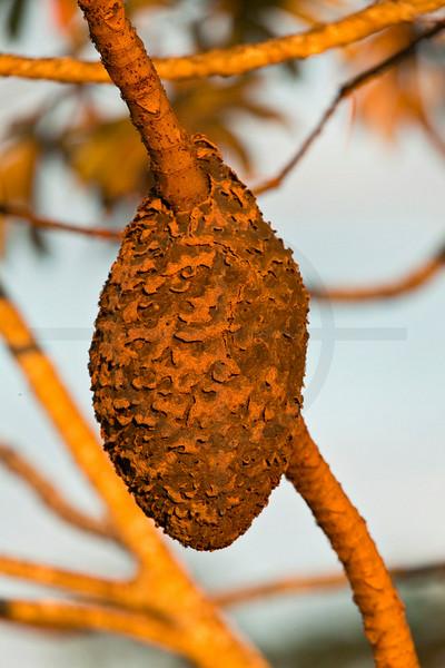 Ants nest, Pantanal, Brazil