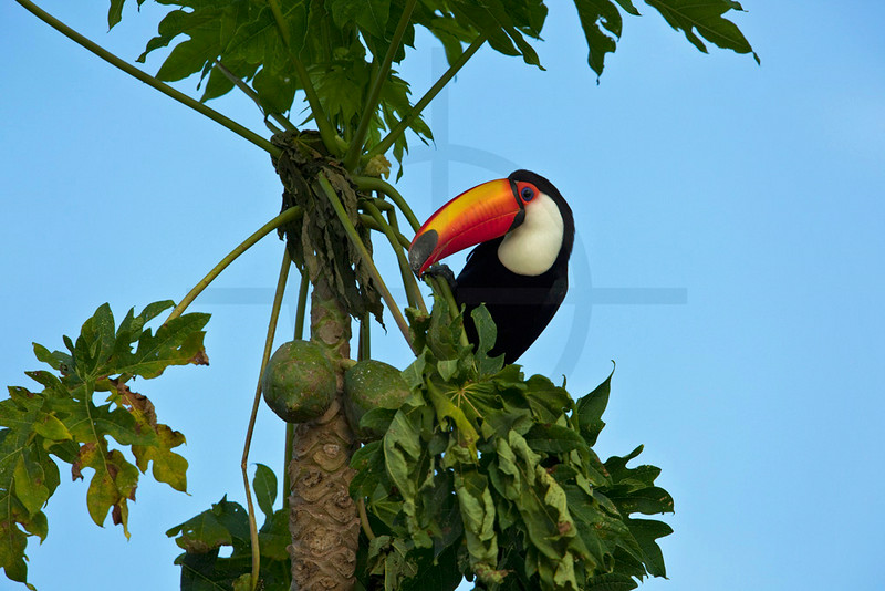 Toco toucan eating papaya in a tree,  Pantanal near Porto Jofre,  Brazil