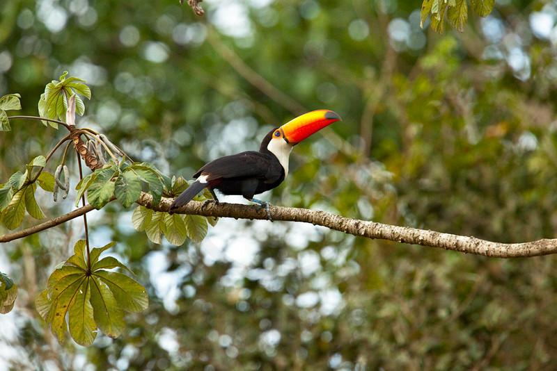 Toco toucan perching on a cecropia tree, Pantanal near Porto Jofre, Brazil