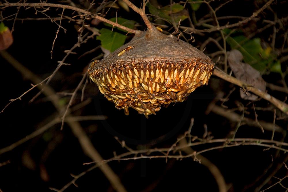 social wasps building a nest at night, Pantanal, Brazil