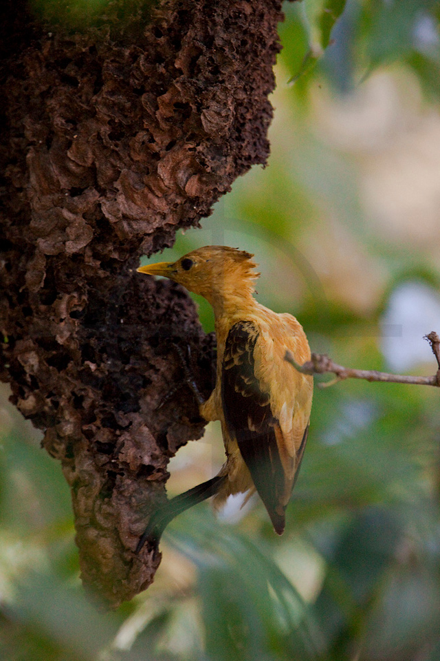 Cream-colored woodpecker (female) feeding on an ants' nest, Pantanal, Brazil