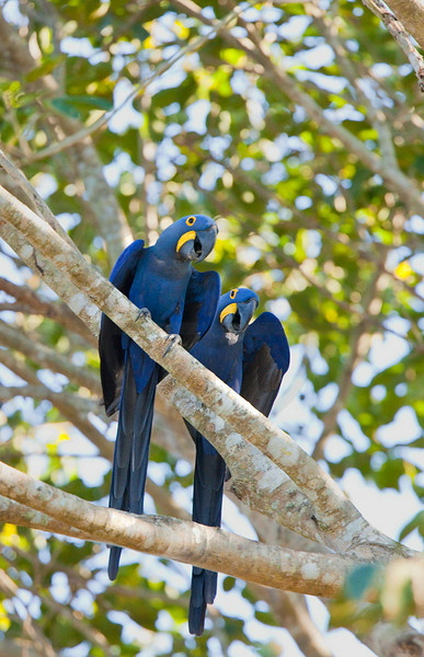 Pair of hyacinth macaws in a tree, Pantanal, Brazil