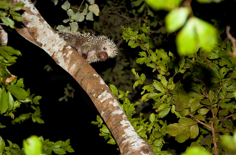 Brazilian porcupine in a tree at night, Pantanal, Brazil