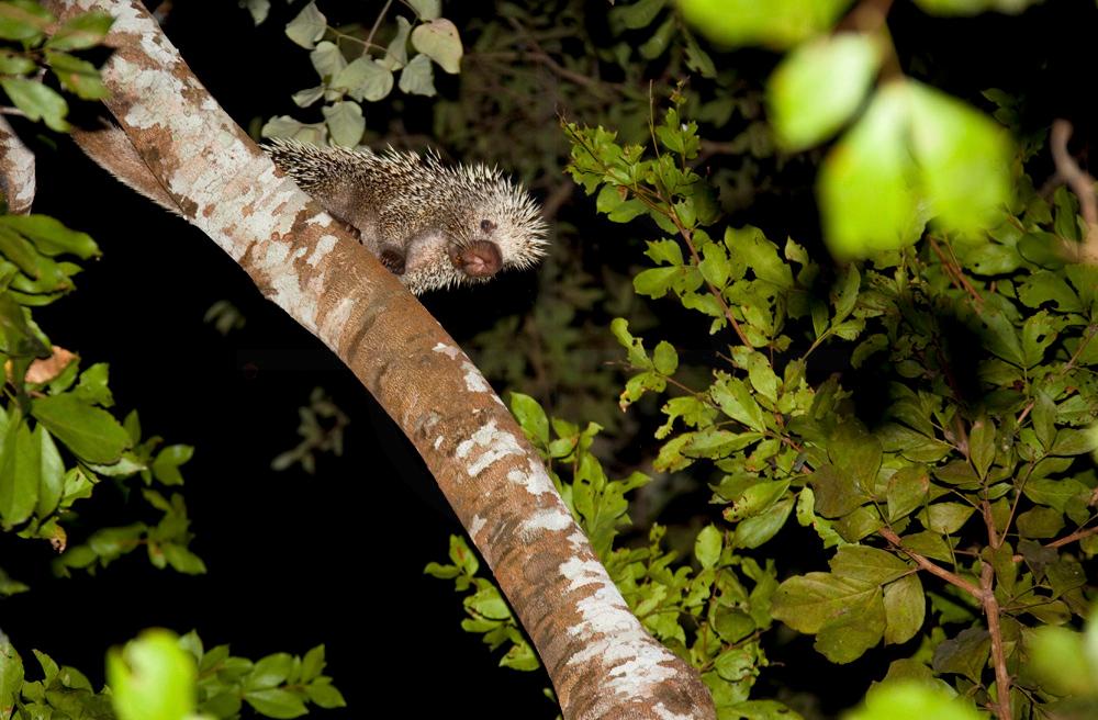 Brazilian porcupine in a tree at night, Pantanal, Brazil
