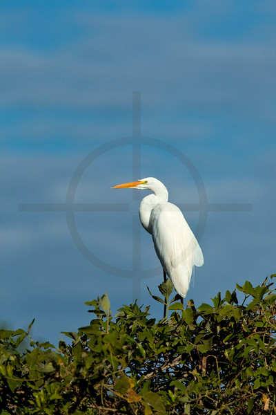 Great egret perching on a bush, Pantanal, Brazil