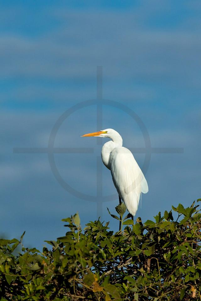 Great egret perching on a bush, Pantanal, Brazil
