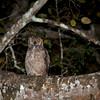 Great horned owl (juvenile) at night, Pantanal, Brazil