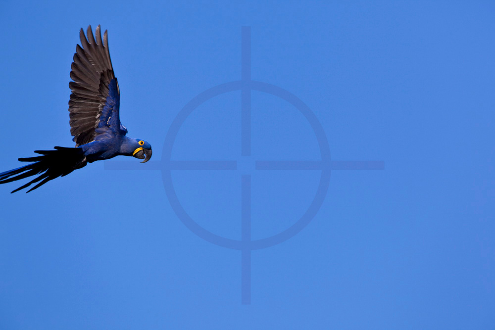 Hyacinth macaw in flight, Pantanal, Brazil