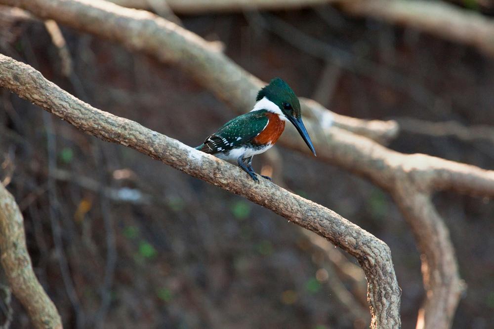 Green kingfisher (male), Pantanal, Brazil
