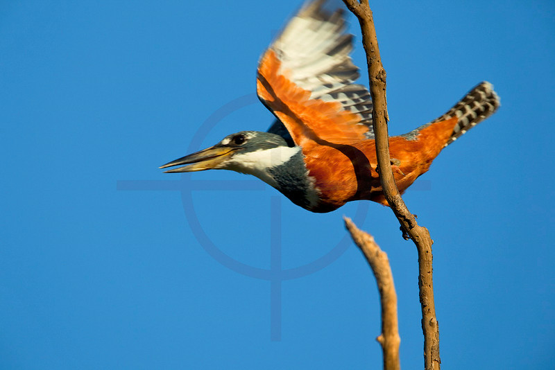 Ringed kingfisher (female) taking off, Pantanal, Brazil