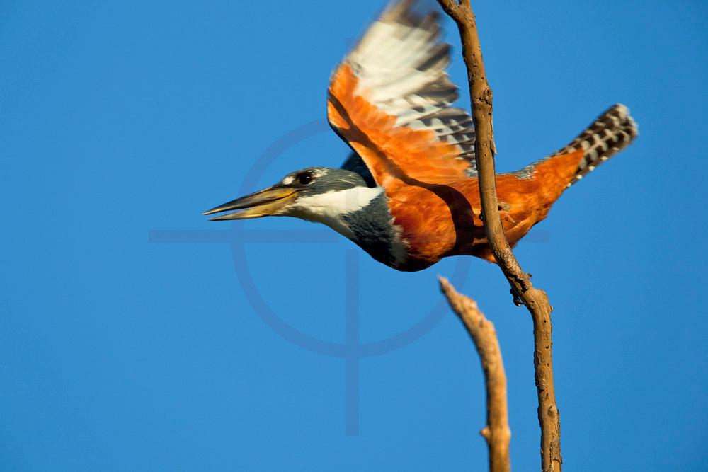 Ringed kingfisher (female) taking off, Pantanal, Brazil