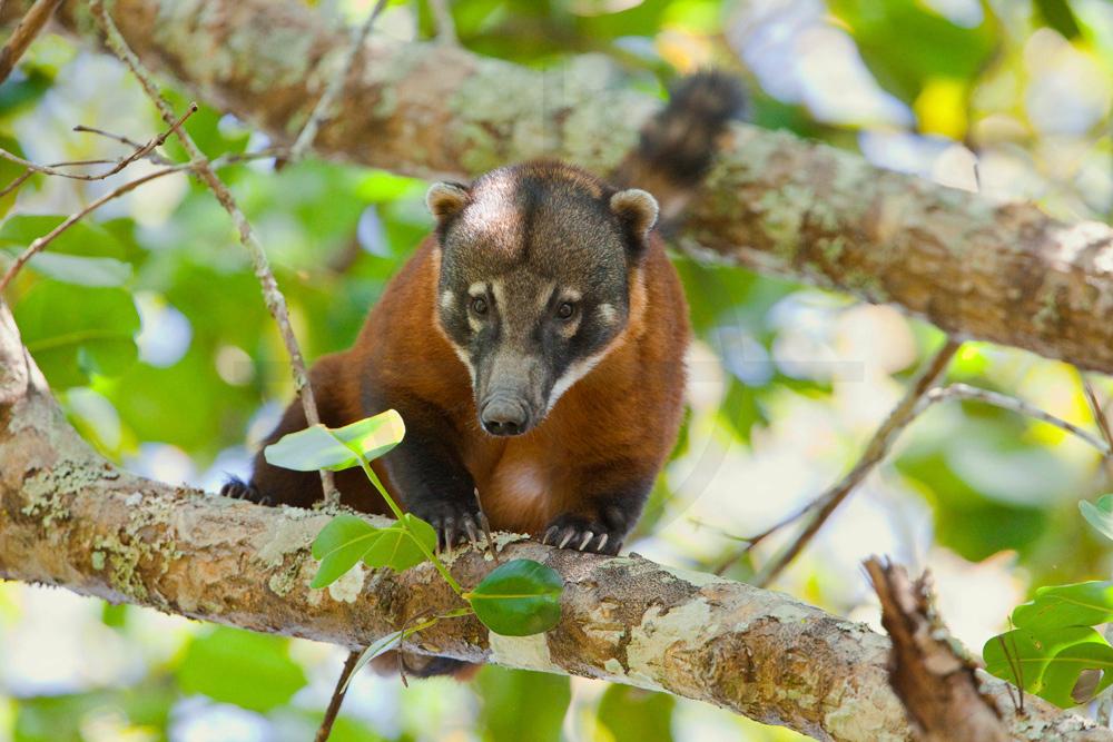 Coati in a tree, Pantanal, Brazil