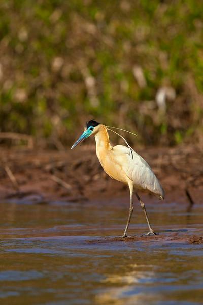 Capped heron, Pantanal, Brazil