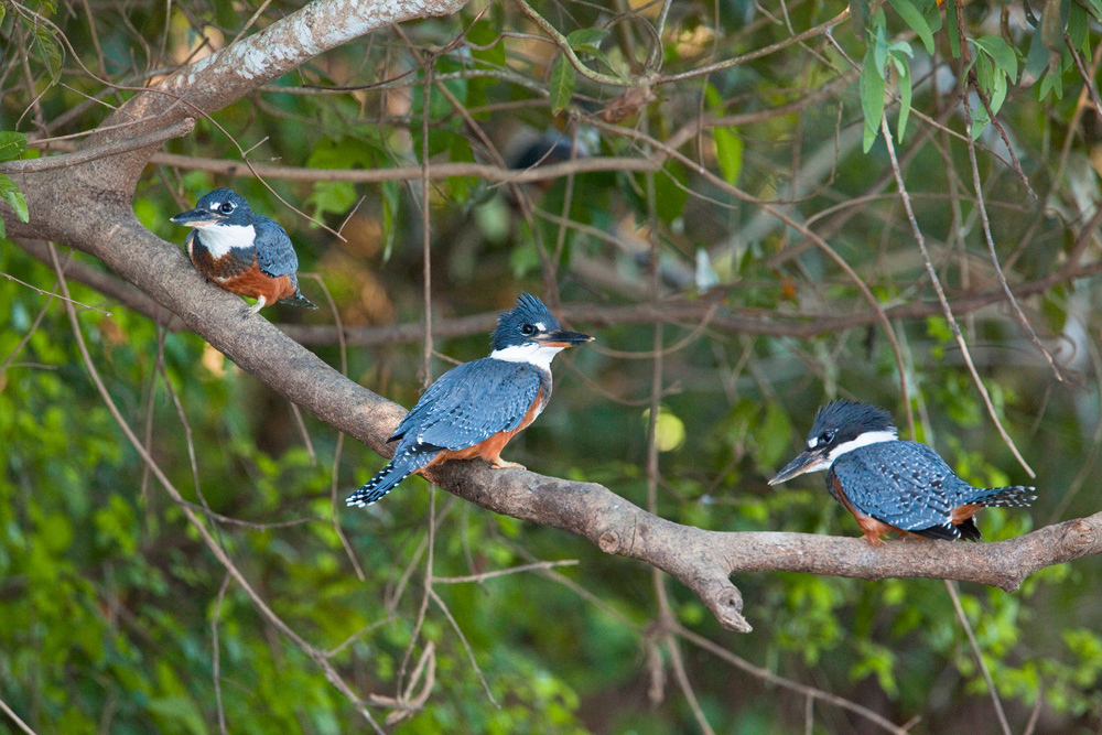 Three ringed kingfishers, Pantanal, Brazil