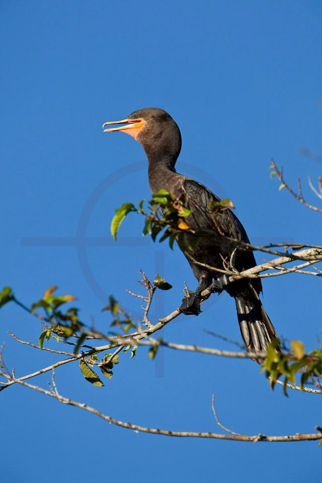 Neotropical cormorant, Pantanal, Brazil
