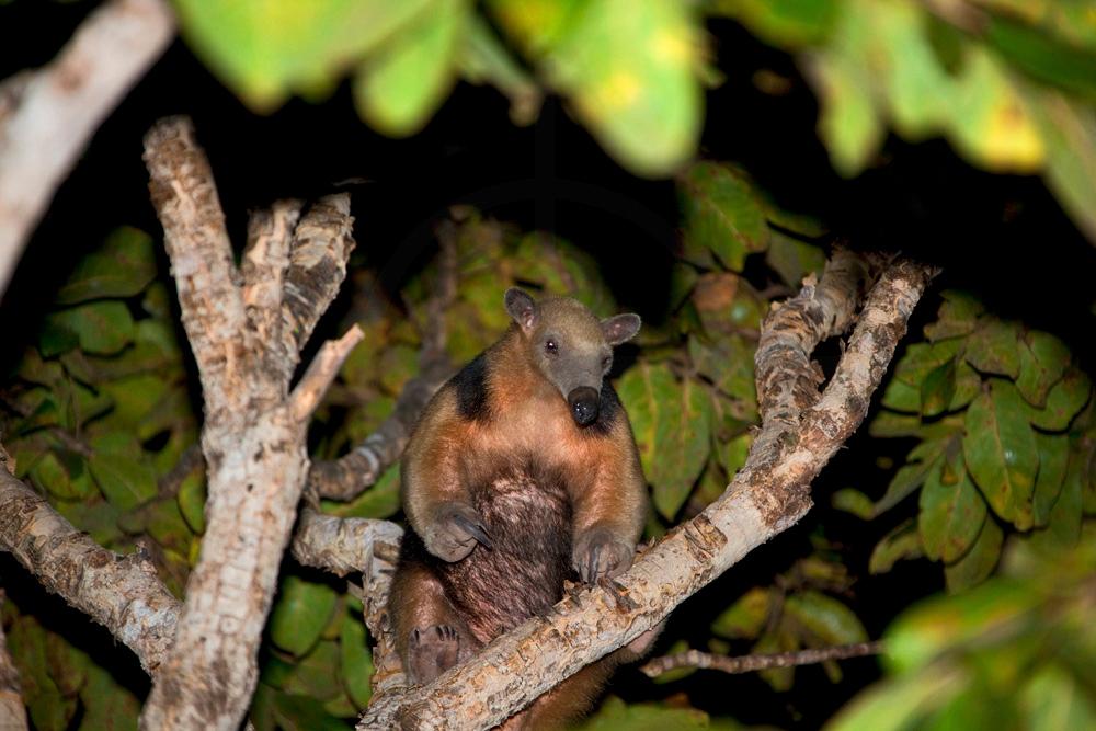 Southern tamandua in a tree at night, Pantanal, Brazil
