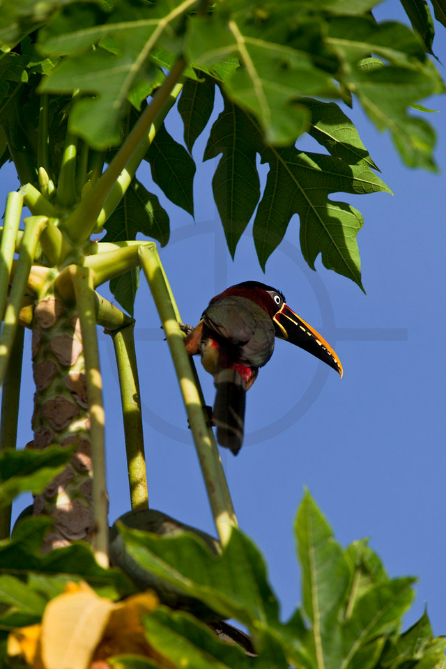 Chestnut-eared araçari in a papaya tree, Pantanal, Brazil