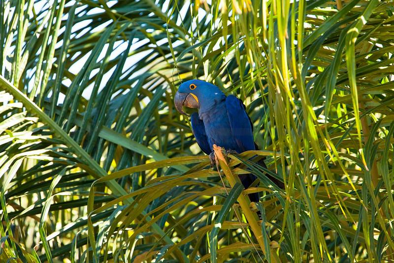 Hyacinth macaw in a palm tree, Pantanal, Brazil