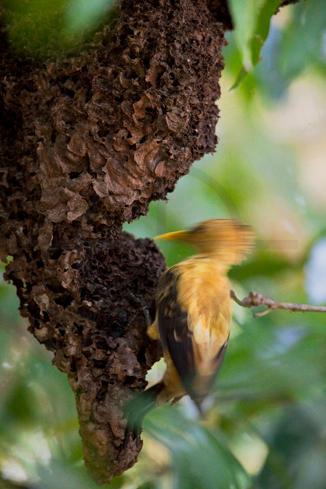 Cream-colored woodpecker pecking at an ants' nest, Pantanal, Brazil