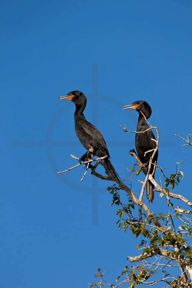 Pair of neoptropical cormorants, Pantanal, Brazil