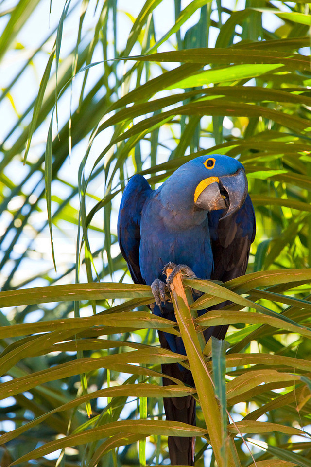 Hyacinth macaw in a palm tree, Pantanal, Brazil