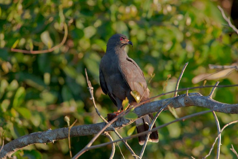 Snail kite (male), Rio Claro, Pantanal, Brazil