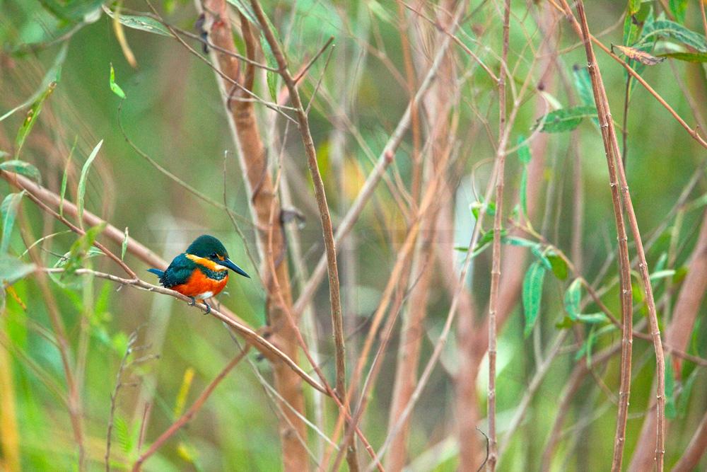 American pygmy kingfisher (female), Pantanal, Brazil