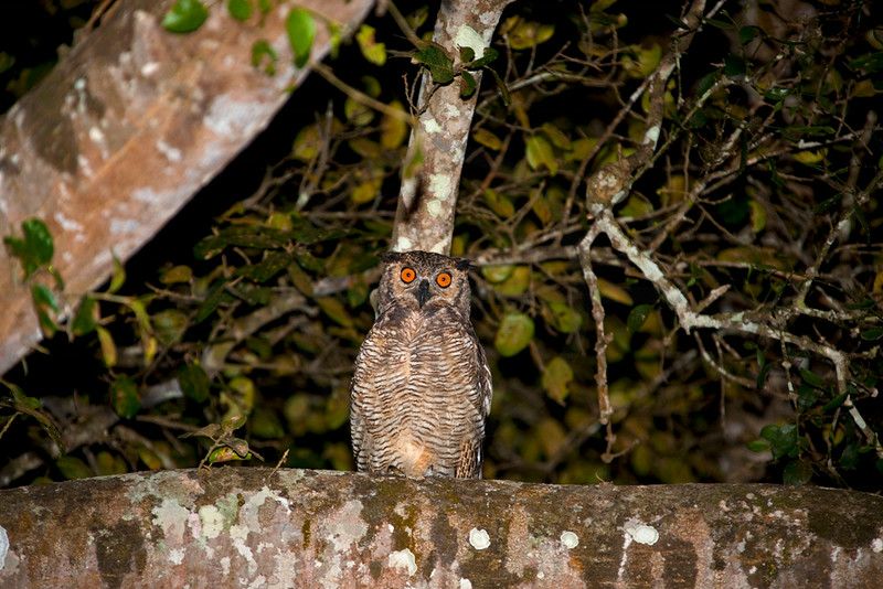 Great horned owl (juvenile) at night, Pantanal, Brazil