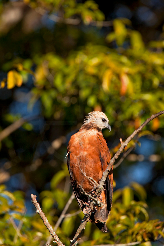 Black-collared hawk, Pantanal, Brazil