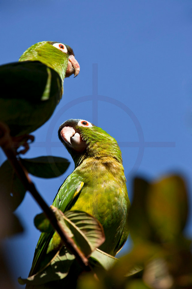 Pair of blue-crowned parakeets, Pantanal, Brazil