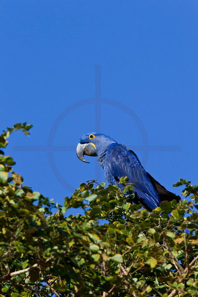 Hyacinth macaw perching on top of a tree, Pantanal, Brazil
