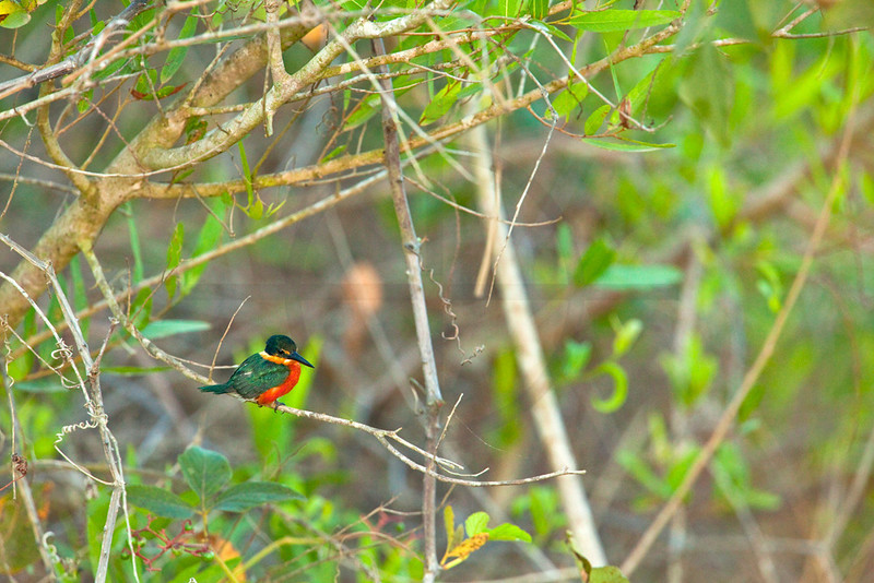 American pygmy kingfisher (male), Pantanal, Brazil