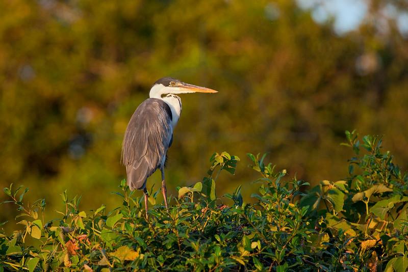 Cocoi heron, Rio Claro, Pantanal, Brazil