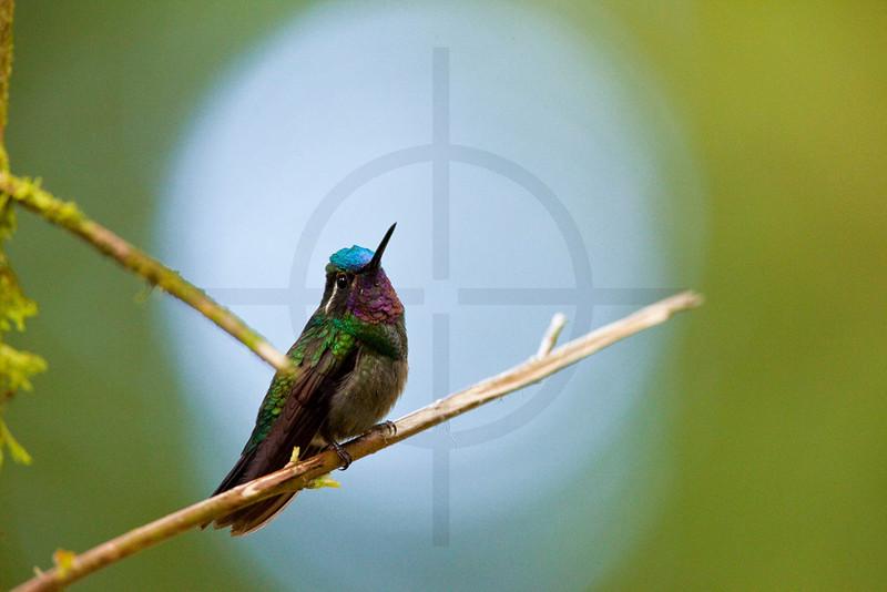 Purple-throated mountain-gem (male) in the spotlights, Santa Elena Cloud Forest Reserve, Costa Rica