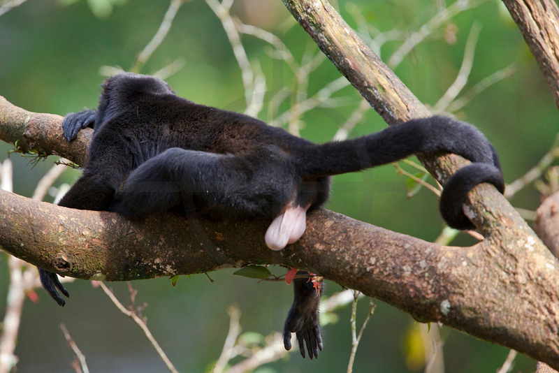 Howler monkey (male) at rest, Muelle San Carlos, Costa Rica