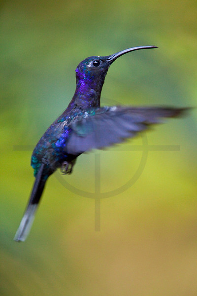 Violet sabrewing (wing) in flight, Monteverde Cloud Forest Preserve, Costa Rica
