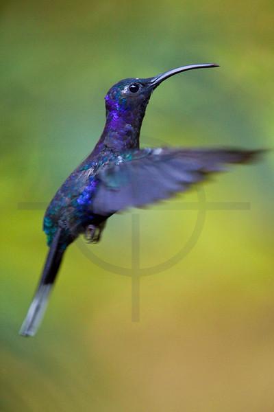 Violet sabrewing (wing) in flight, Monteverde Cloud Forest Preserve, Costa Rica