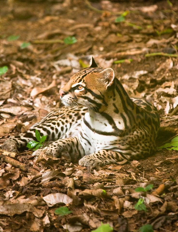 Ocelot at rest, Zoo Ave, La Garita de Alejuela, Costa Rica