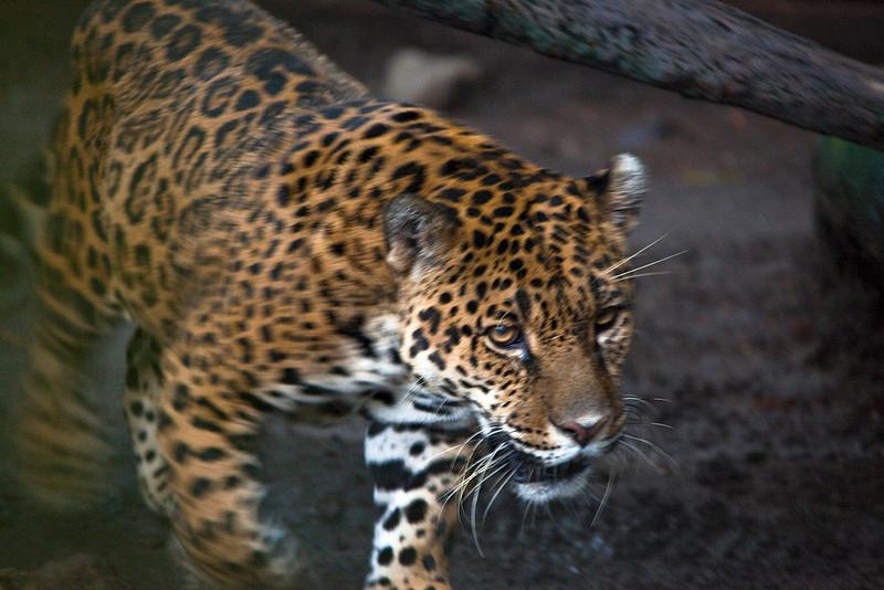 Leopard, Simon Bolivar Zoological Park, San José, Costa Rica