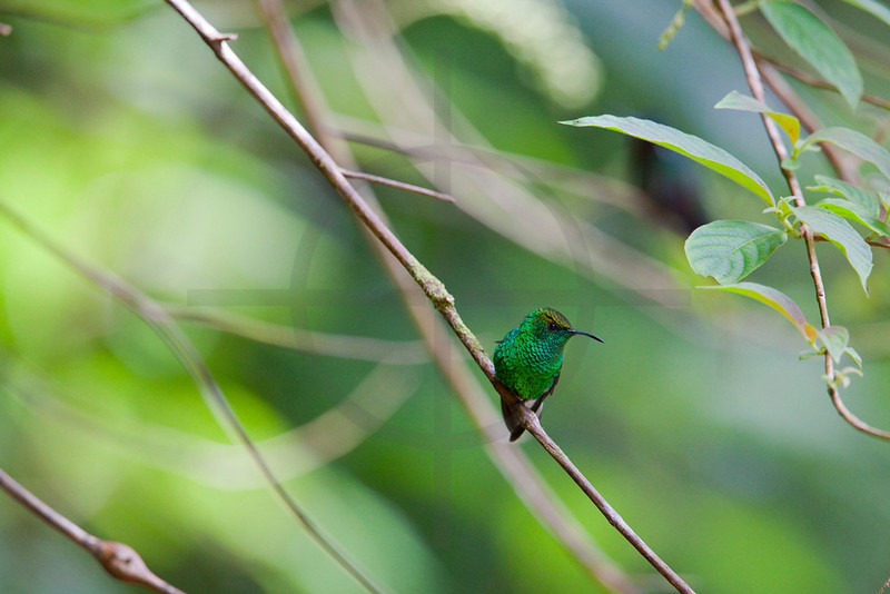 Coppery-headed emerald (male),  Santa Elena Cloud Forest Reserve, Costa Rica