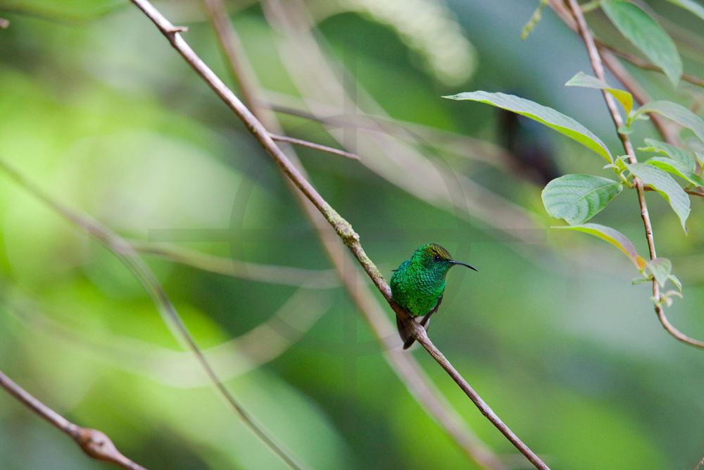 Coppery-headed emerald (male),  Santa Elena Cloud Forest Reserve, Costa Rica