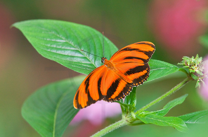 Tiger butterfly, Costa Rica