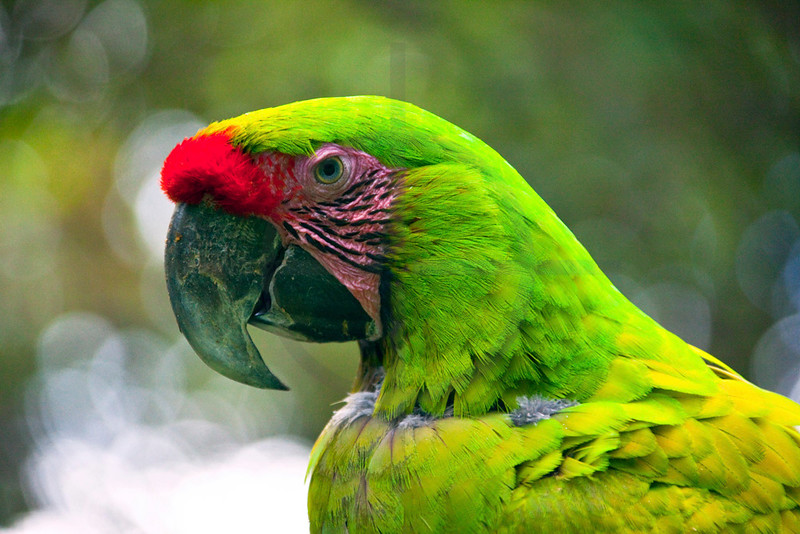 Great green macaw, Zoo Ave, La Garita de Alejuela, Costa Rica
