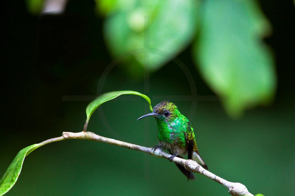 Coppery-headed emerald (male), Monteverde Cloud Forest Preserve, Costa Rica