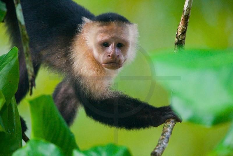 White-throated capuchin monkey, Osa Peninsula, Costa Rica