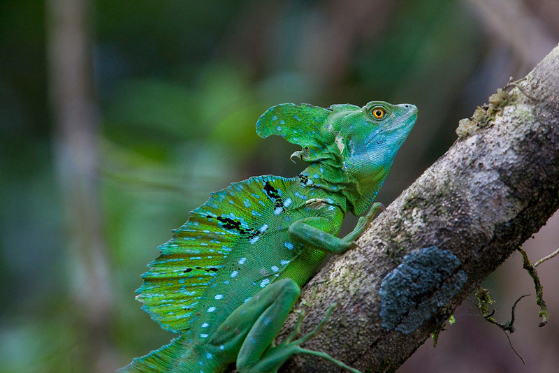Adult green basilisk, Tortuguero National Park, Costa Rica