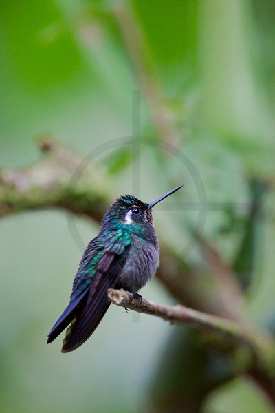 Gray-tailed mountain-gem (male), Santa Elena Cloud Forest Reserve, Costa Rica