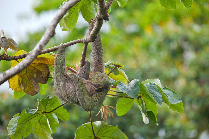 Brown-throated three-toed sloth hanging in a cecropia tree, Osa Peninsula, Costa Rica