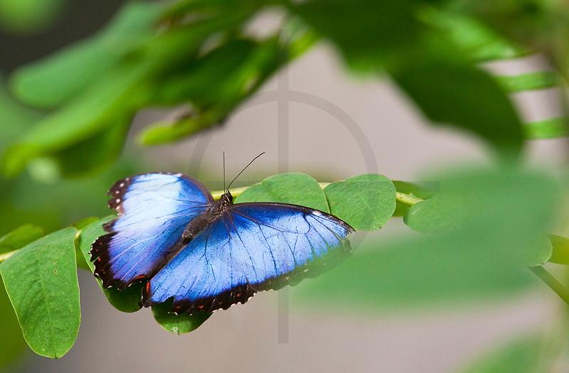 Peleides blue morpho, Costa Rica